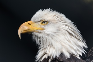 Bald Eagle Wild Wallpaper