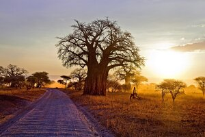 Baobab Tree Wallpaper