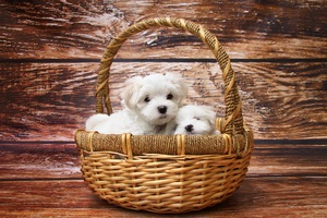 Basket Of Puppies Wallpaper