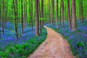 Belgium Forest Bluebells