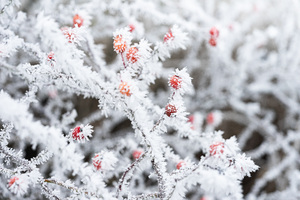 Berry Branches Frost Winter 5k Wallpaper