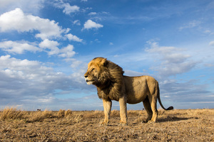 Big Cat Lion