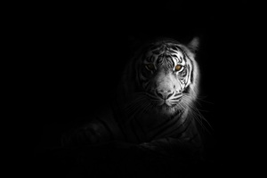 Big Cat Tiger 4k Wallpaper