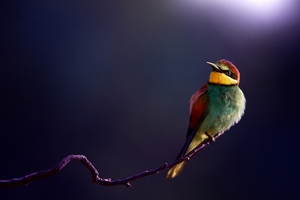 Bird Bee Eater 4k Wallpaper