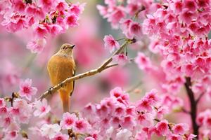 Bird Sitting On Cherry Blossom Tree 4k Wallpaper