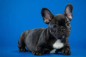 Black French Bulldog Cute Puppy Wallpaper