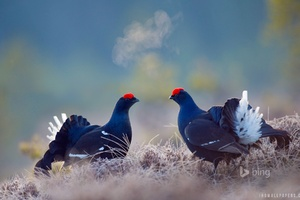 Black Grouse Birds Wallpaper
