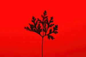 Black Leaf Red Background 5k Wallpaper