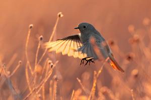 Black Redstart Bird