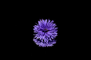 Blossom Purple Flower Black Background Reflection Wallpaper