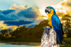 Blue And Yellow Macaw Wallpaper
