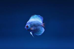 Blue Discus Fish Wallpaper