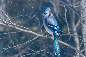 Blue Jay Bird 4k