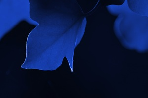 Blue Leaf Macro Wallpaper