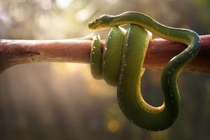 Boa Green Snake