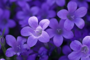 Bokeh Violet Flowers 5k Wallpaper