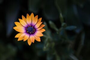 Bright Orange Purple Flower 8k Wallpaper