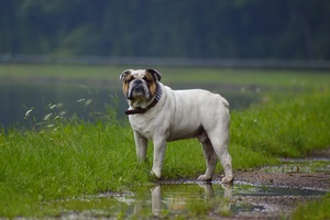 Bulldog In Rainy Weather