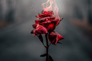 Burning Rose 4k