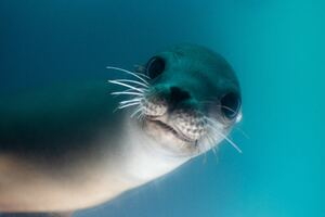California Sea Lion 5k Wallpaper