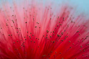 Calliandra Flowers 4k Wallpaper