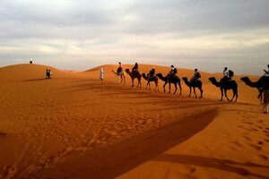 Camels In Caravan Desert Wallpaper