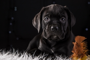 Cane Corso Dog Puppy 4k HD