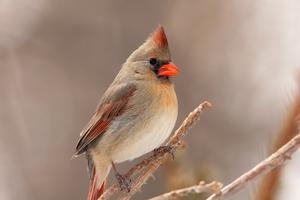 Carnial Birds Wallpaper