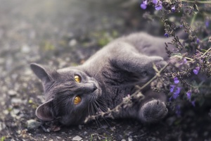 Cat Golden Eyes Lying Down 5k Wallpaper