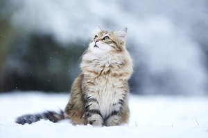 Cat In Winter Wallpaper