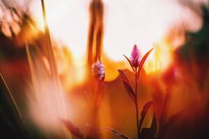Celosia Flowers Floara 5k Wallpaper