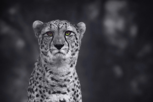 Cheetah Monochrome 4k