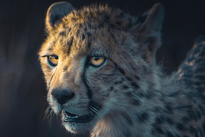 Cheetah Portrait Wallpaper