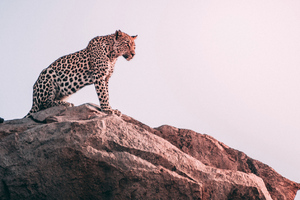 Cheetah Sight
