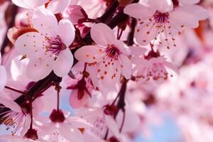 Cherry Bloosoms Wallpaper