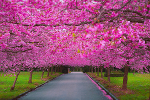 Cherry Blossom Park Wallpaper
