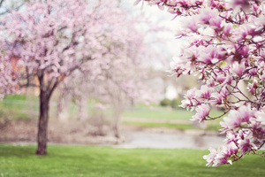 Cherry Blossom Tree 5k