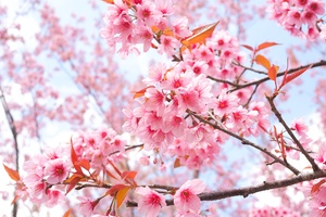 Cherry Blossom Tree Branches 4k