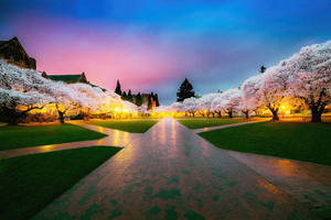 Cherry Blossom Tree Park 4k Wallpaper
