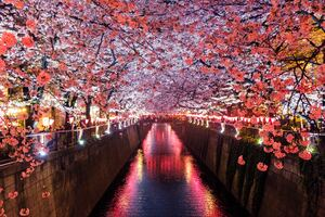 Cherry Blossom Trees Covering River Canal Wallpaper
