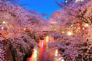 Cherry Blossom Trees Wallpaper