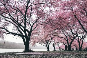 Cherry Blossoms Trees 4k Wallpaper