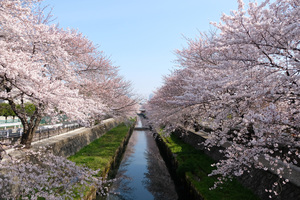 Cherry Trees Seasonal 5k