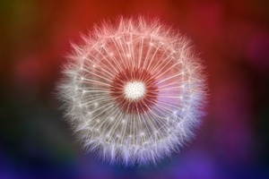 Close Up Dandelions Wallpaper