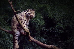 Clouded Leopard Yawning 5k Wallpaper