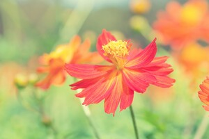 Cosmos Autumn Flowers