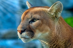 Cougar 4k Wallpaper
