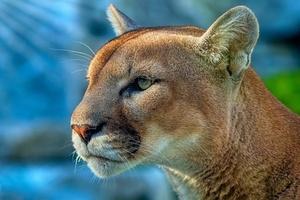 Cougar 4k