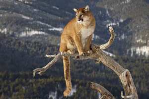 Cougar On A Branch 4k Wallpaper
