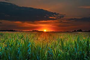 Crop Field Sunset Wallpaper